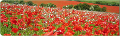 "Our poppy field as used in the film ""Atonement"""